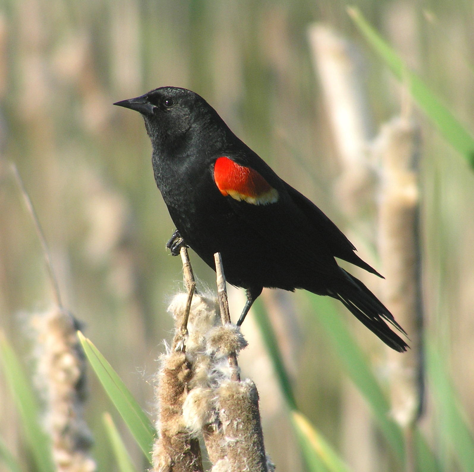 Red-Shouldered Blackbird | The Birds of Cuba