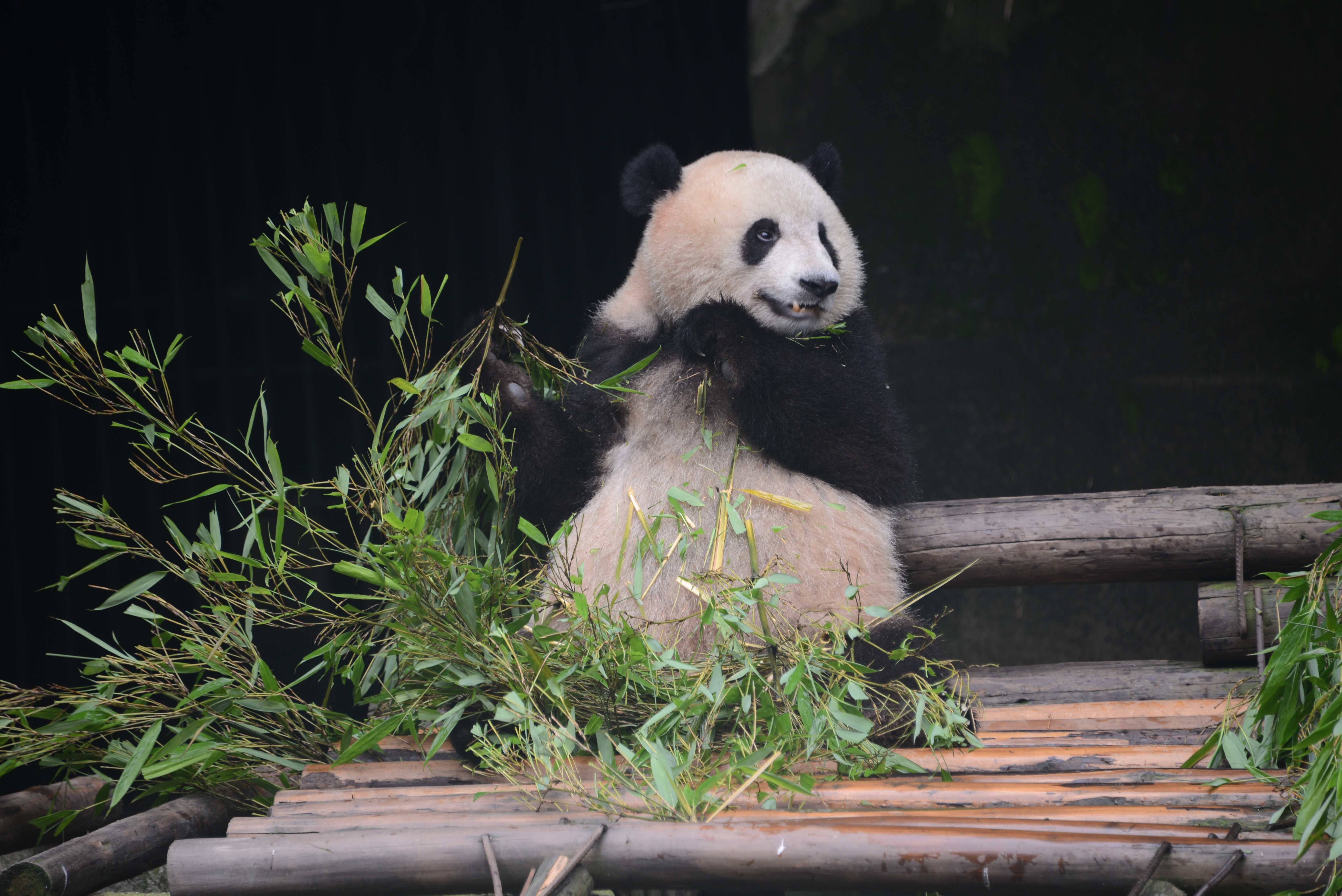 Despite seeing some of China's greatest historical treasures, students were delighted to see one of the country's greatest natural treasures in the pandas at the Chongqing zoo. (Photo credit: Curtis Chan)