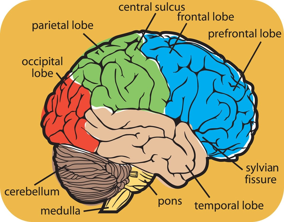 Alcohol repercussions outweigh benefits drinking driving awareness sfo brain labeled to match computer guy v2 ccuart Image collections