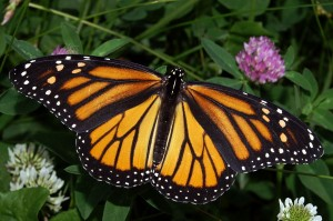 Female Monarch (photo by K.D.Harrelson (Wikimedia Commons))