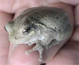 Gray tree frog (photo by L.A.Dawson. Wikimedia Commons)