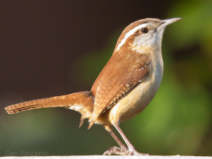 Carolina wren (photo by D.Pancomo, Wikimedia Commons)