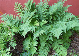 Evergreen wood fern (photo by D. Sillman)