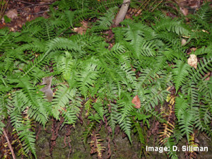 Polypody fern (Photo by D. Sillman)