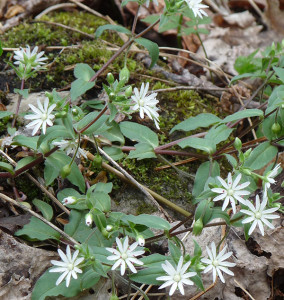 Star chickweed Photo by D. Sillman