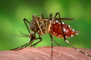 Aedes aegypti Photo by J. Gathany CDC Wikimedia Commons