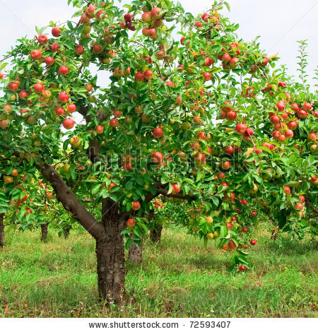 Apple propagation watch me grow - Planting fruit trees in the fall a garden full of vigor ...
