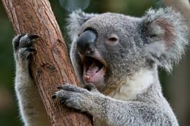 what is a drop bear urban dictionary