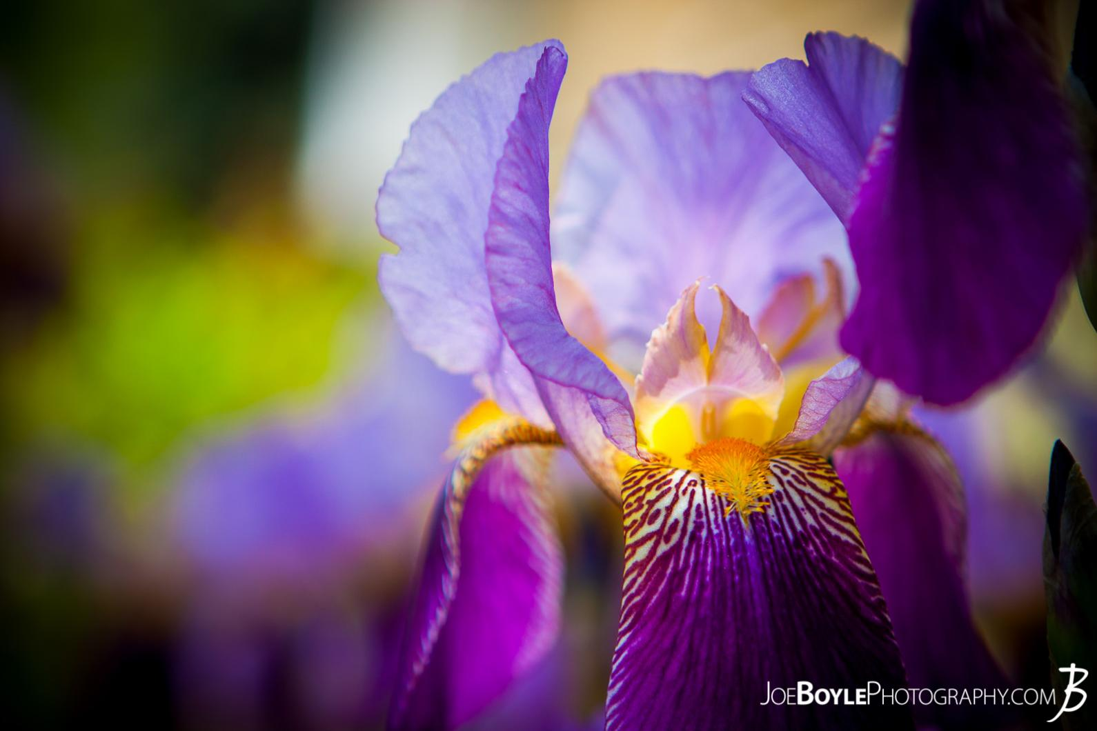 Iris propagation ii hort 202 penn state close view of an iris flower httpjoeboylephotography izmirmasajfo