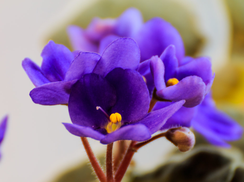 African Violet Tissue Culture Propagation | Lilac ...