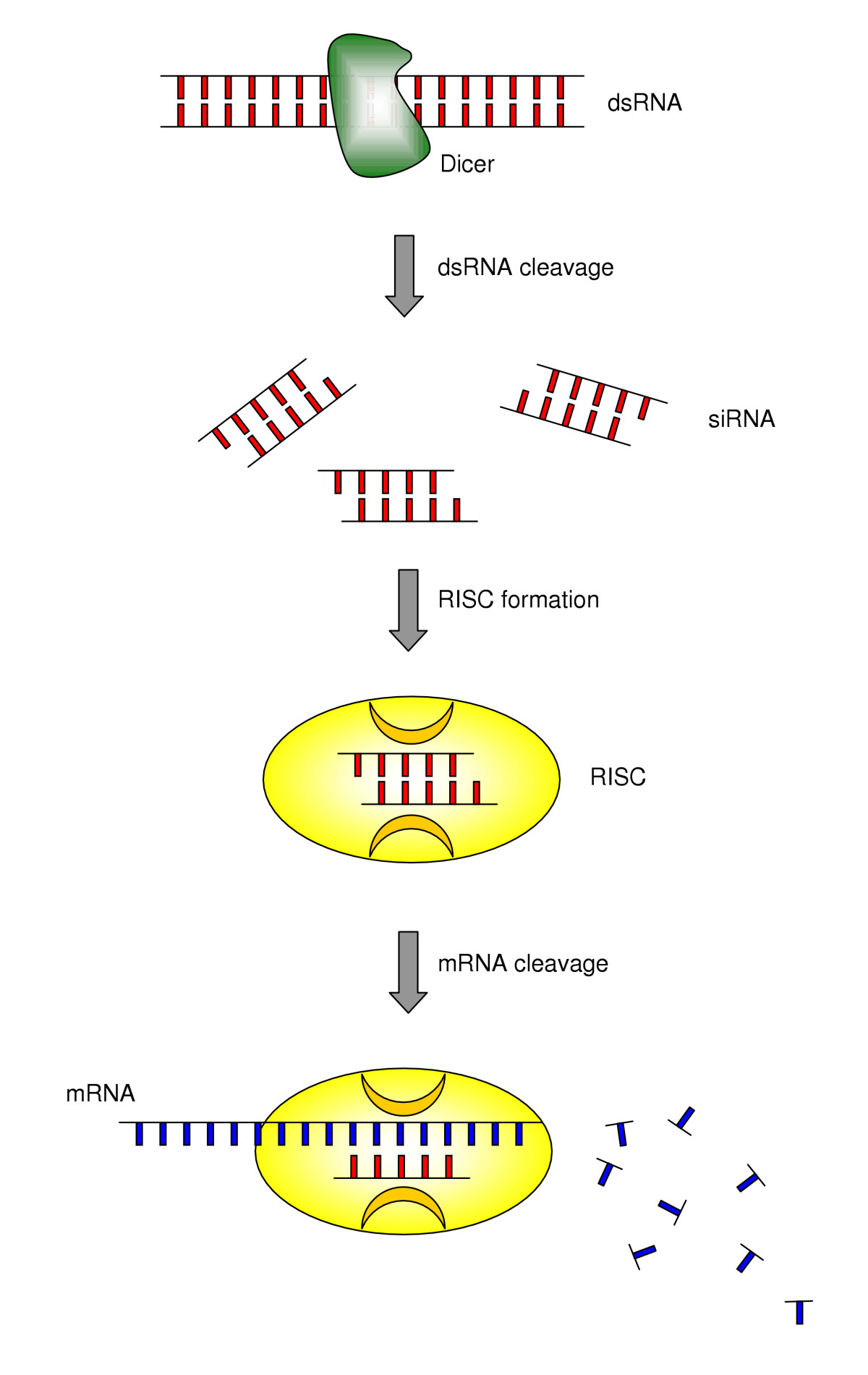 Mechanism_of_RNA_interference