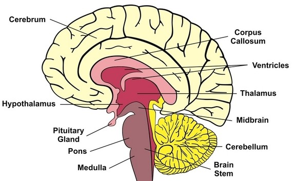 The woman without a cerebellum medical mysteries passion blog brain diagram the cerebellum ccuart Choice Image