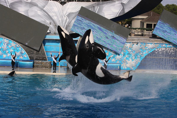 Killer whales in captivity vs wild - photo#53