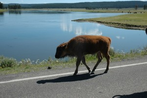 baby bison on road