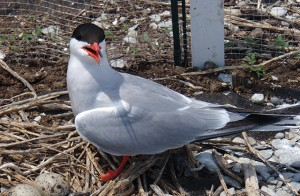 """It's Our """"Tern"""""""