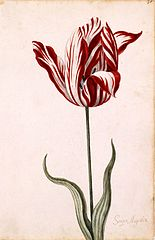 Semper Augustus, one of the most expensive tulip sold during tulip mania. TTulip breaking virus causes the red and white streaks. (Wikimedia Commons)