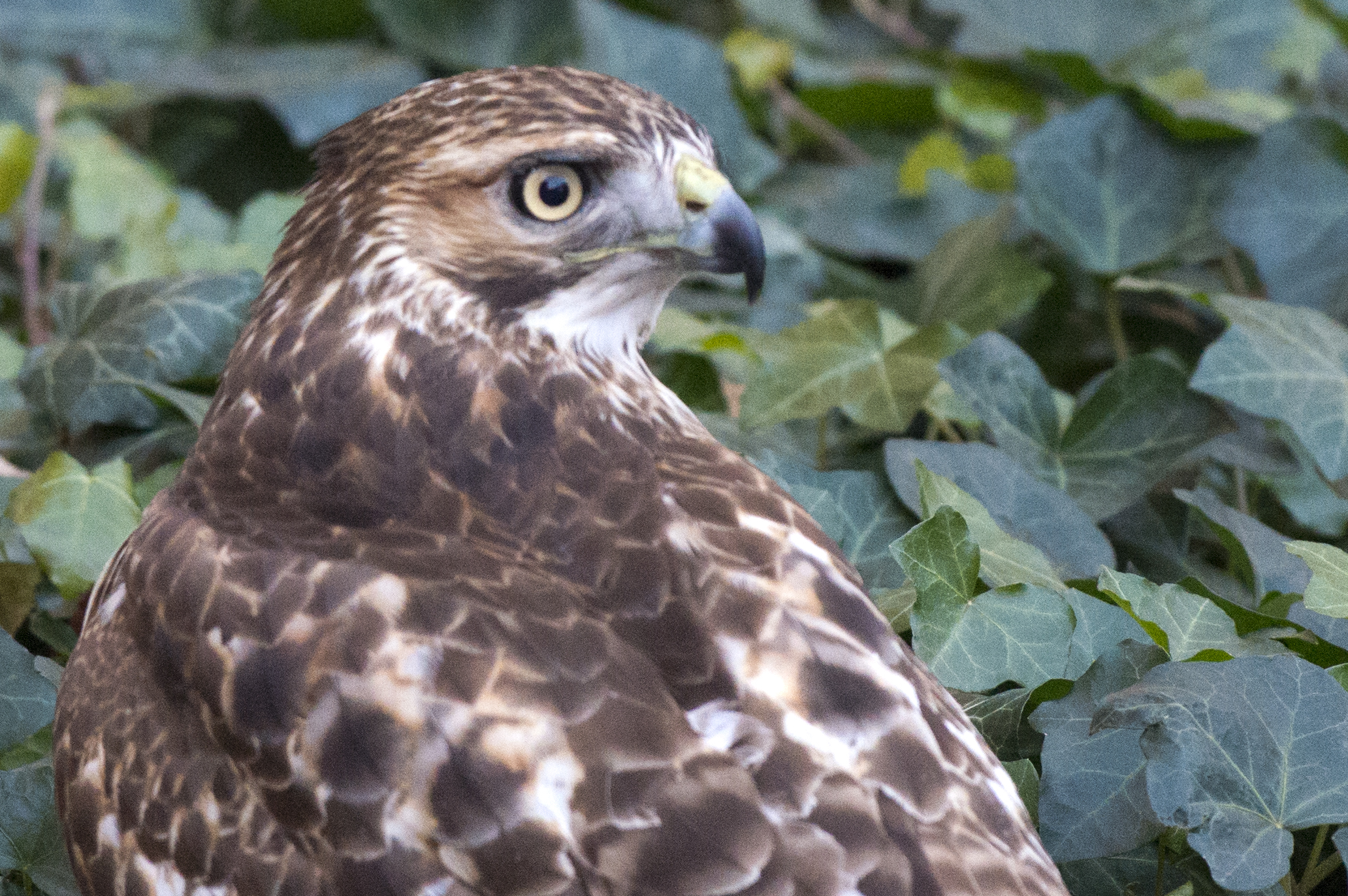 A view of the red-tail from behind. Photo by Patrick Mansell.