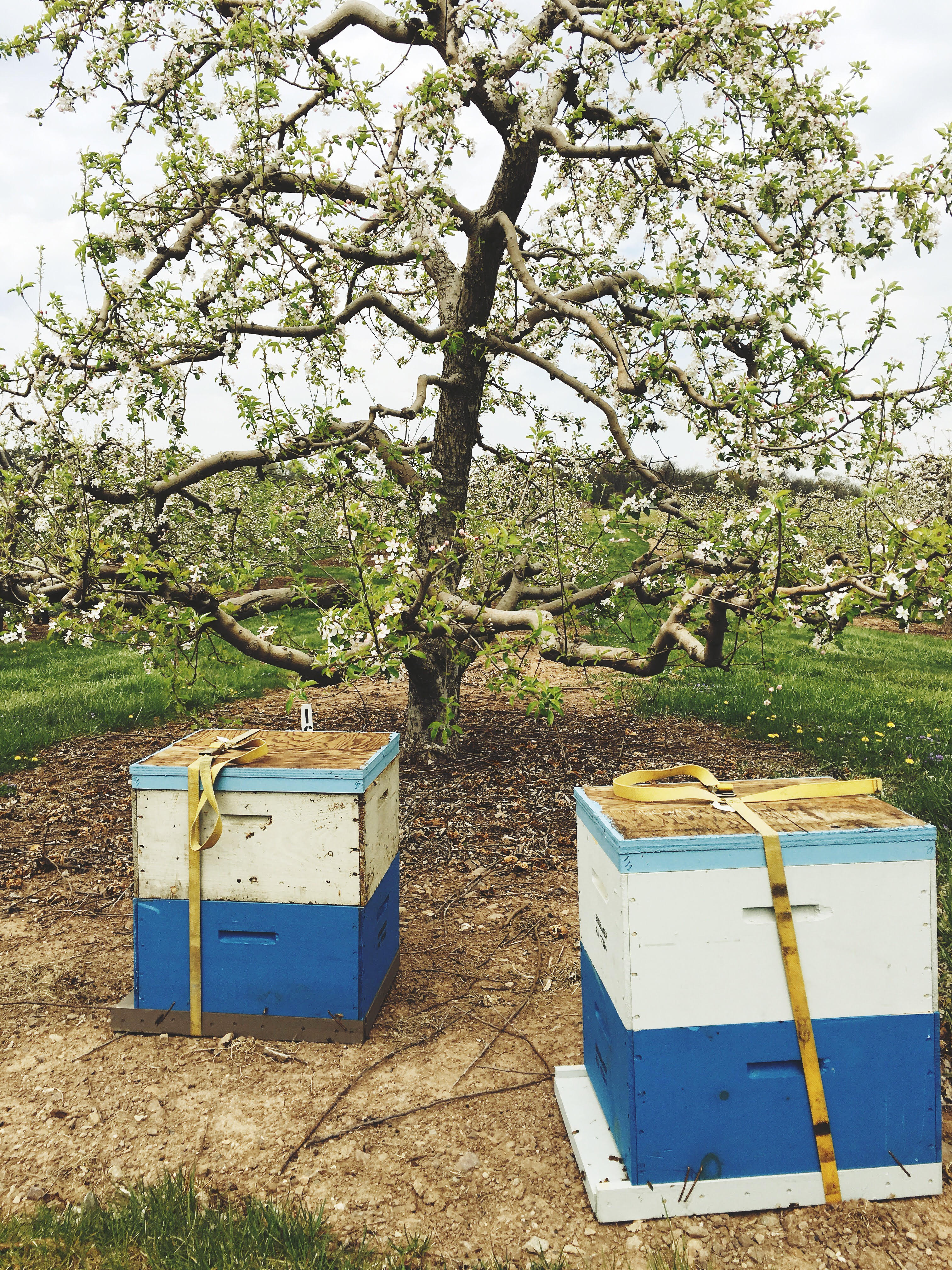 Bee boxes in the orchard during pollination season, Biglerville, PA