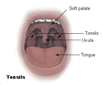 Why Do We Have Tonsils Siowfa15 Science In Our World Certainty