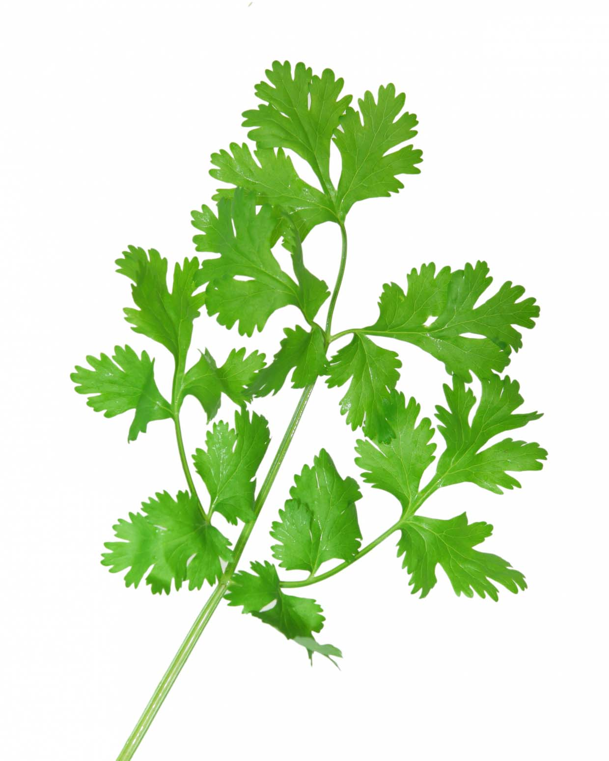 foto Why Some People HATE Cilantro and Others Dont