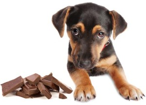 How Much Dark Chocolate Can Hurt A Dog