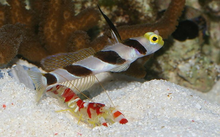 The goby fish and the shrimp samuel ronollo thinglink for Fish and shrimp near me