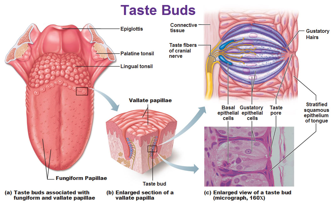 why are everyone's taste buds different? | siowfa15: science in, Human Body