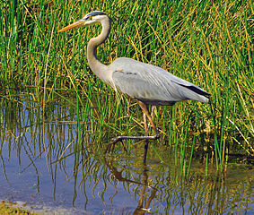 Great_Blue_Heron_wikimedia.jpg