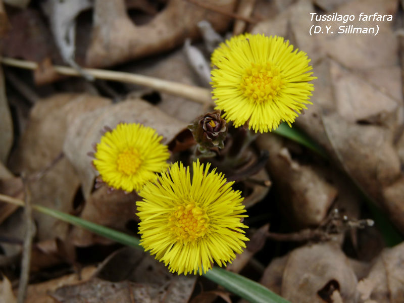 Thumbnail image for coltsfoot1.jpg