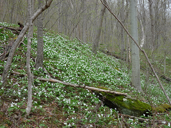 Trillium grandiflorum at Rock Furnace Trail, Apollo, PA