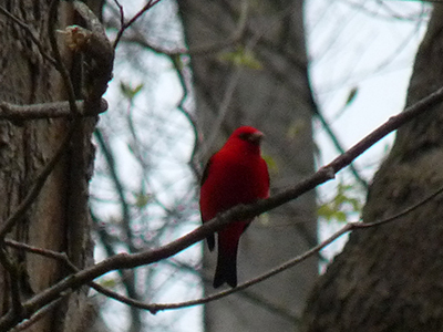 Male scarlet tanager at Rock Furnace Trail, Apollo, PA