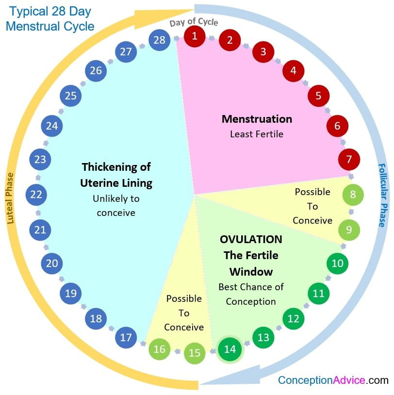 Phases of the Menstrual Cycle | Penn State - Presidential Leadership  Academy (PLA)