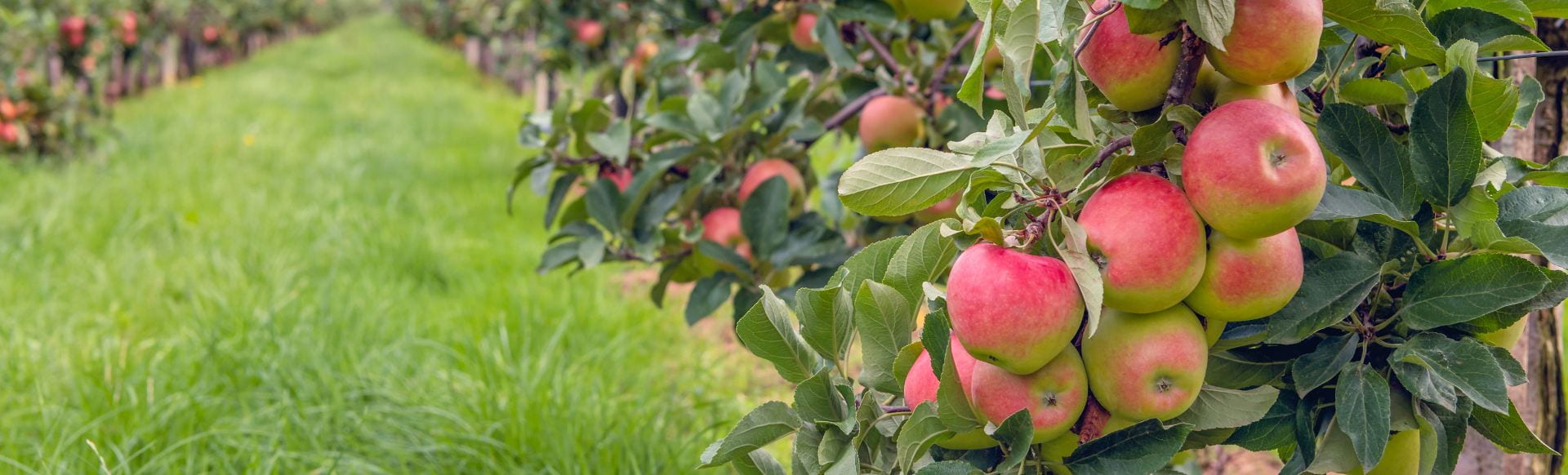Espaliered Fruit Trees With Harvest Ripe Red Apples In A Dutch A