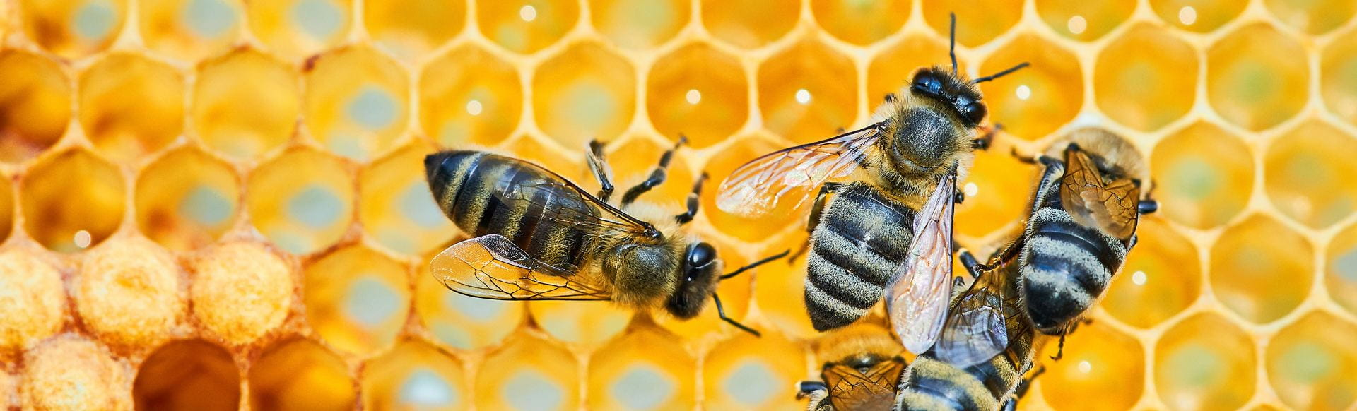 Macro Photo Of A Bee Hive On A Honeycomb With Copyspace. Bees Pr