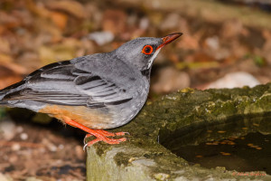 thrush with bright eyes and legs