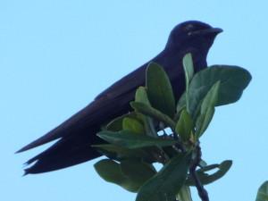 A purple martin on a branch with leaves