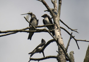 Purple Martins perched on a dead tree. One is eating a dragon fly.