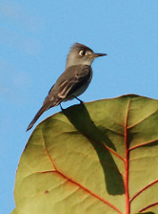 Cuban Pewee on a leaf