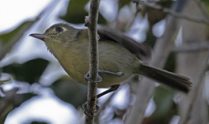 A Cuban Vireo about to take flight off a branch. (Creative Commons) (Jerry Oldenettel)