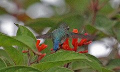 A Bee Hummingbird feeding facing away from us with its wings spread out. Hovering over a flower.