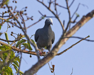 frontal view of a white-crowned pigeon on a tree branch