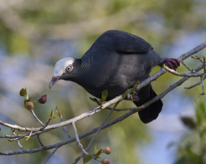 close up of white-crowned pigeon on a tree branch