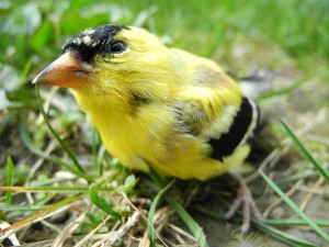 American Goldfinch looking up