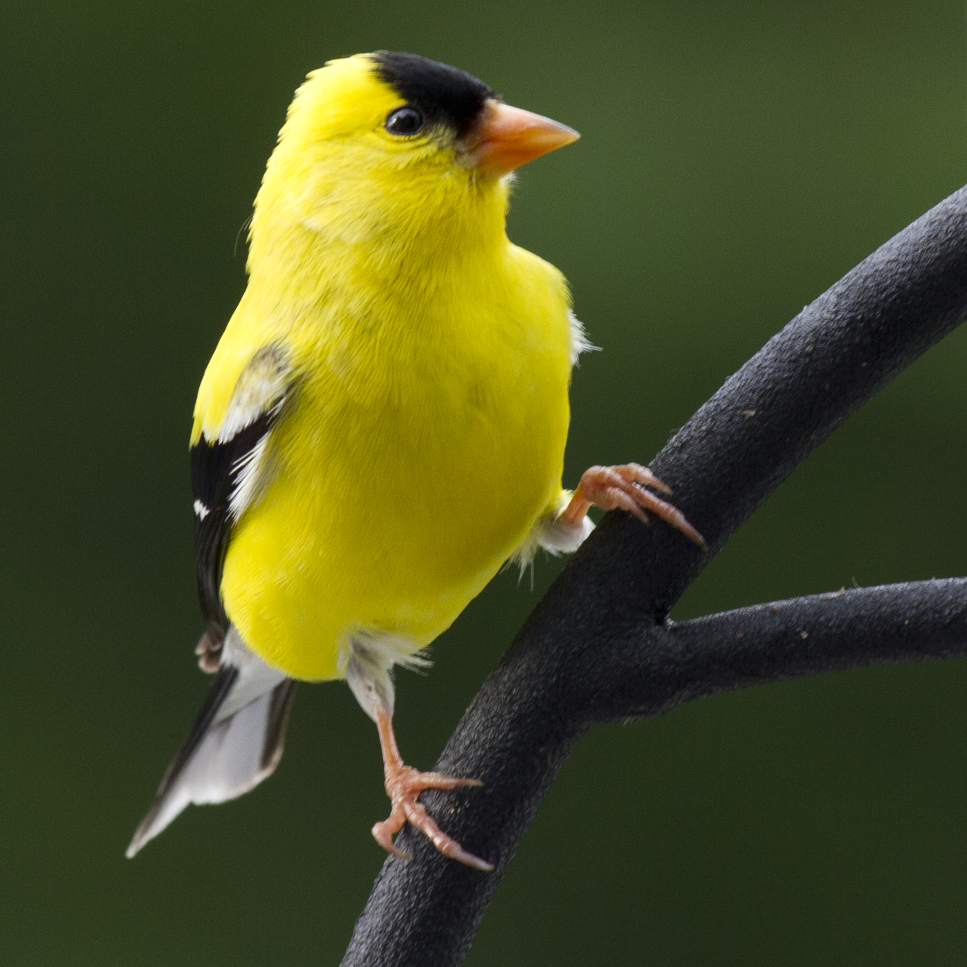 american goldfinch birds of pennsylvania