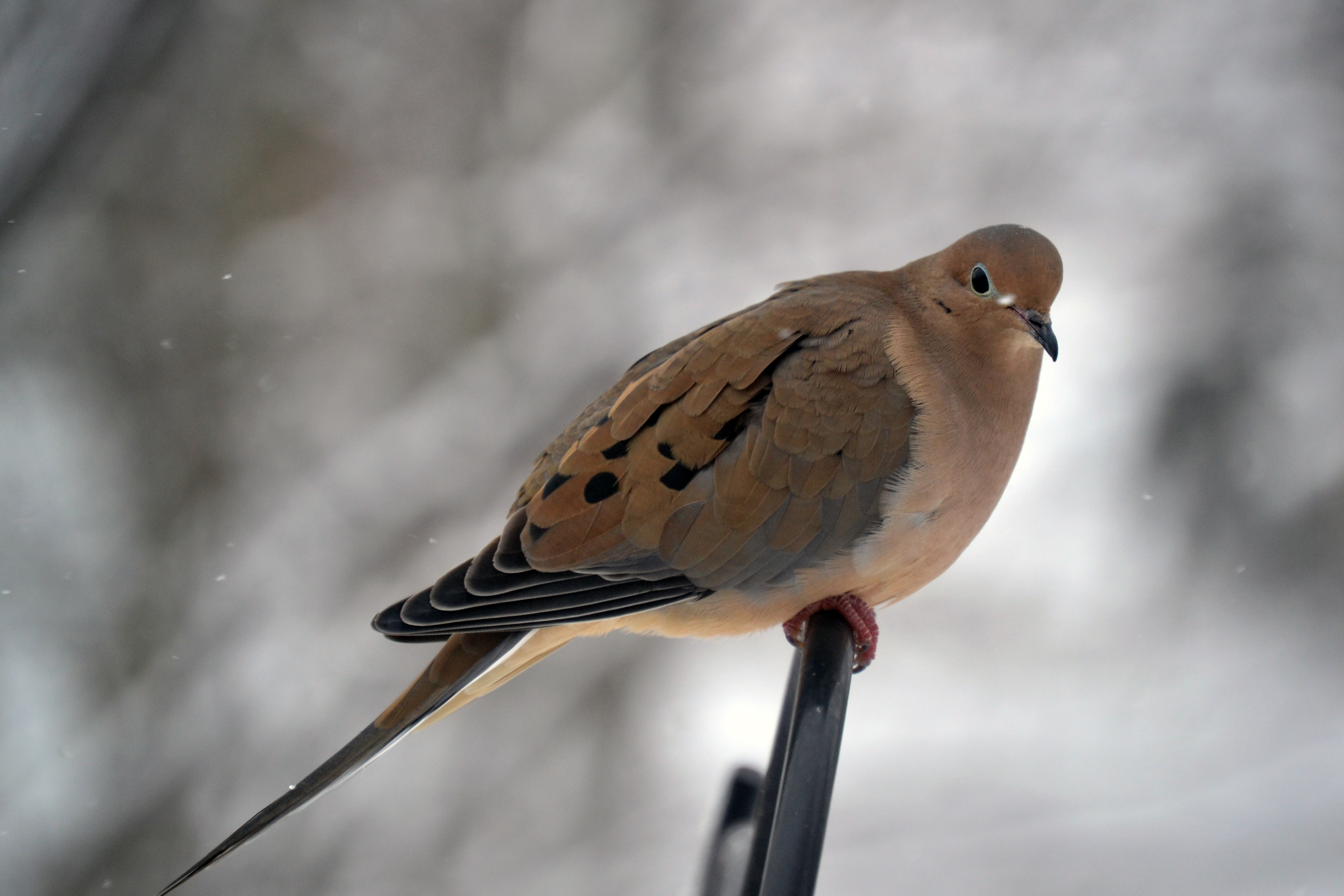 mourning dove birds of pennsylvania