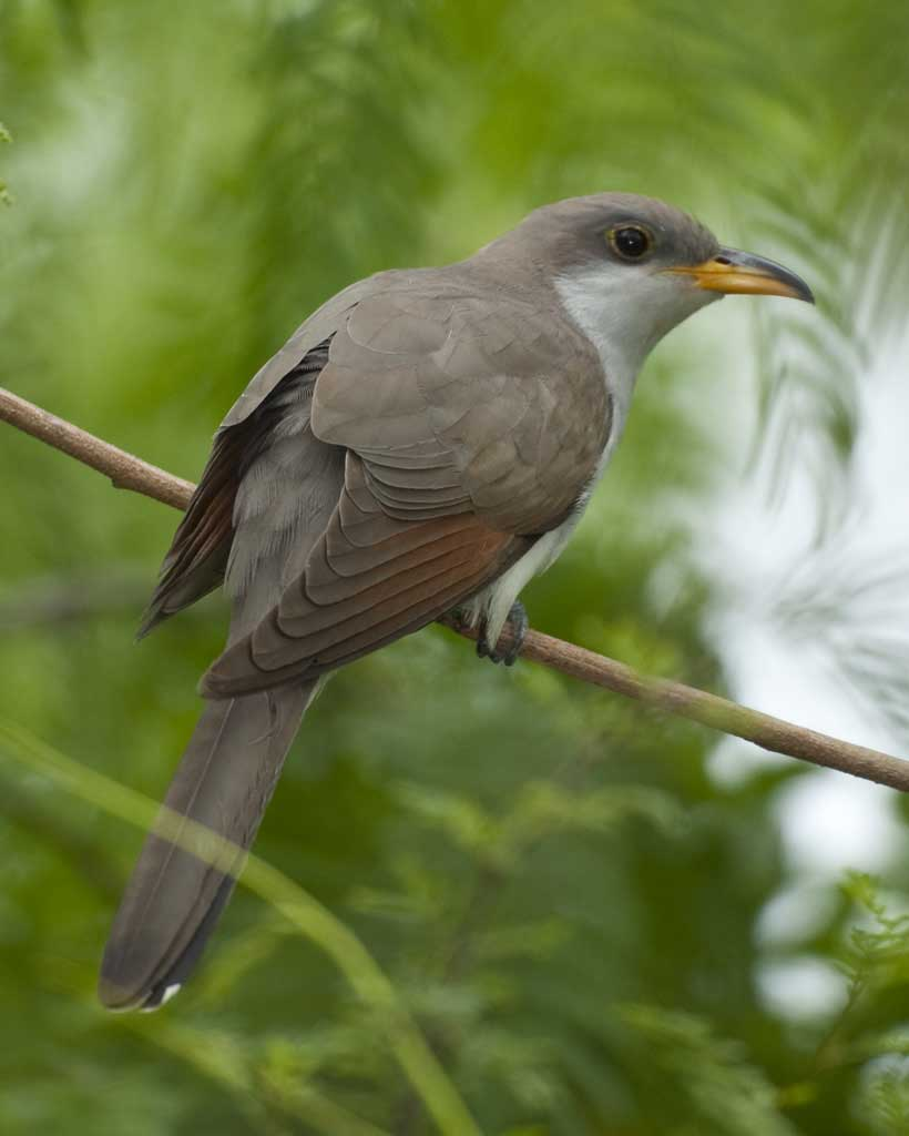 Yellow Billed Cuckoo L07 53 153 L 1