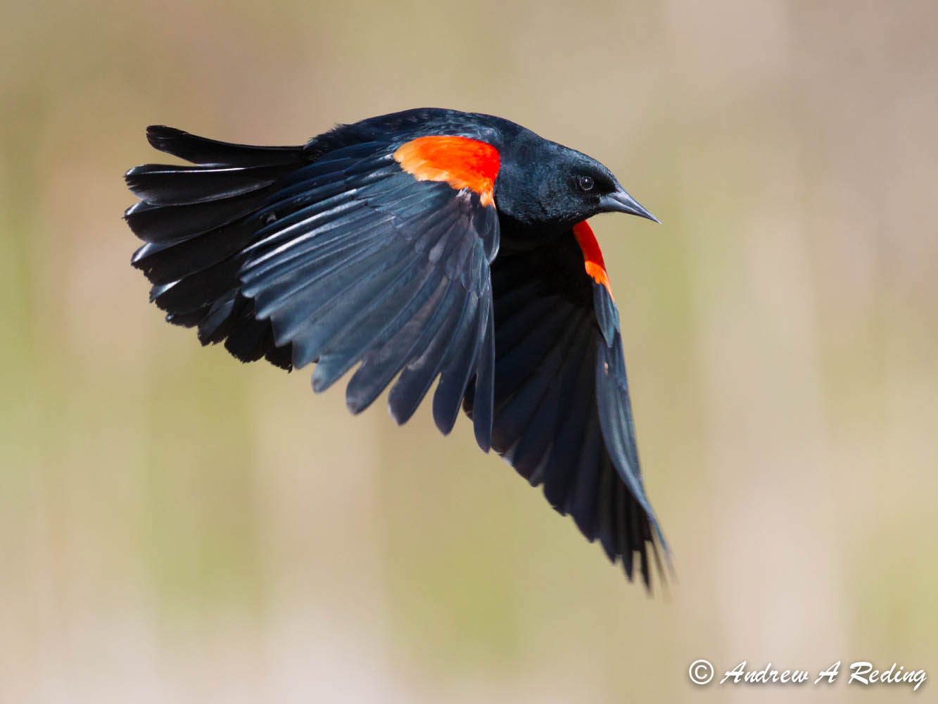 Red Winged Blackbird | Birds of Pennsylvania