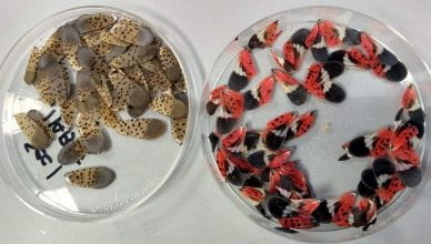 Spotted lanternfly wings from Lehigh Valley lab visit.