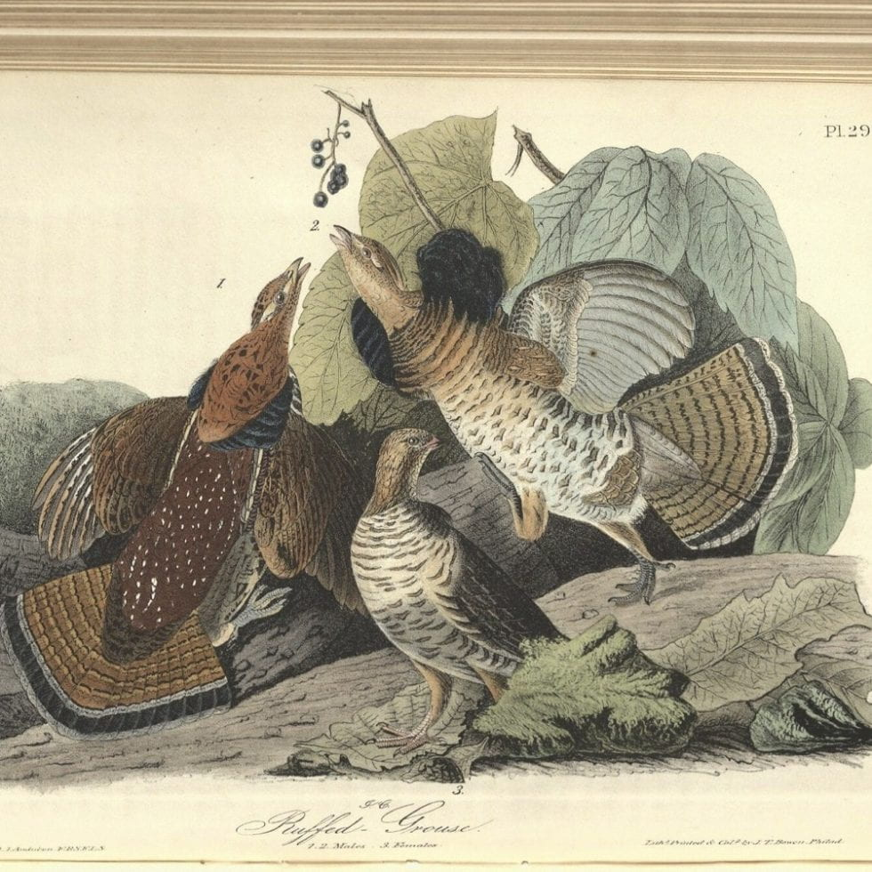 Audubon Ruffed Grouse illustration