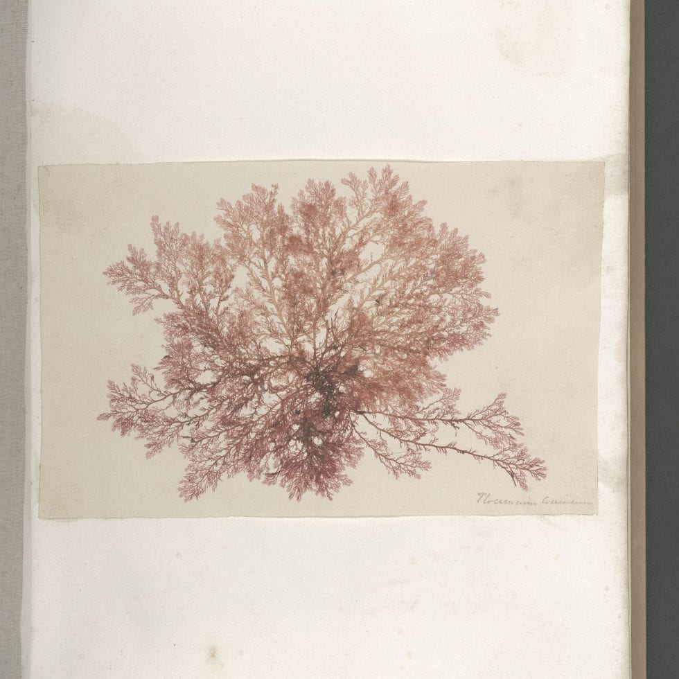 Page 14 of Seaweeds, Great Britain, circa 1850
